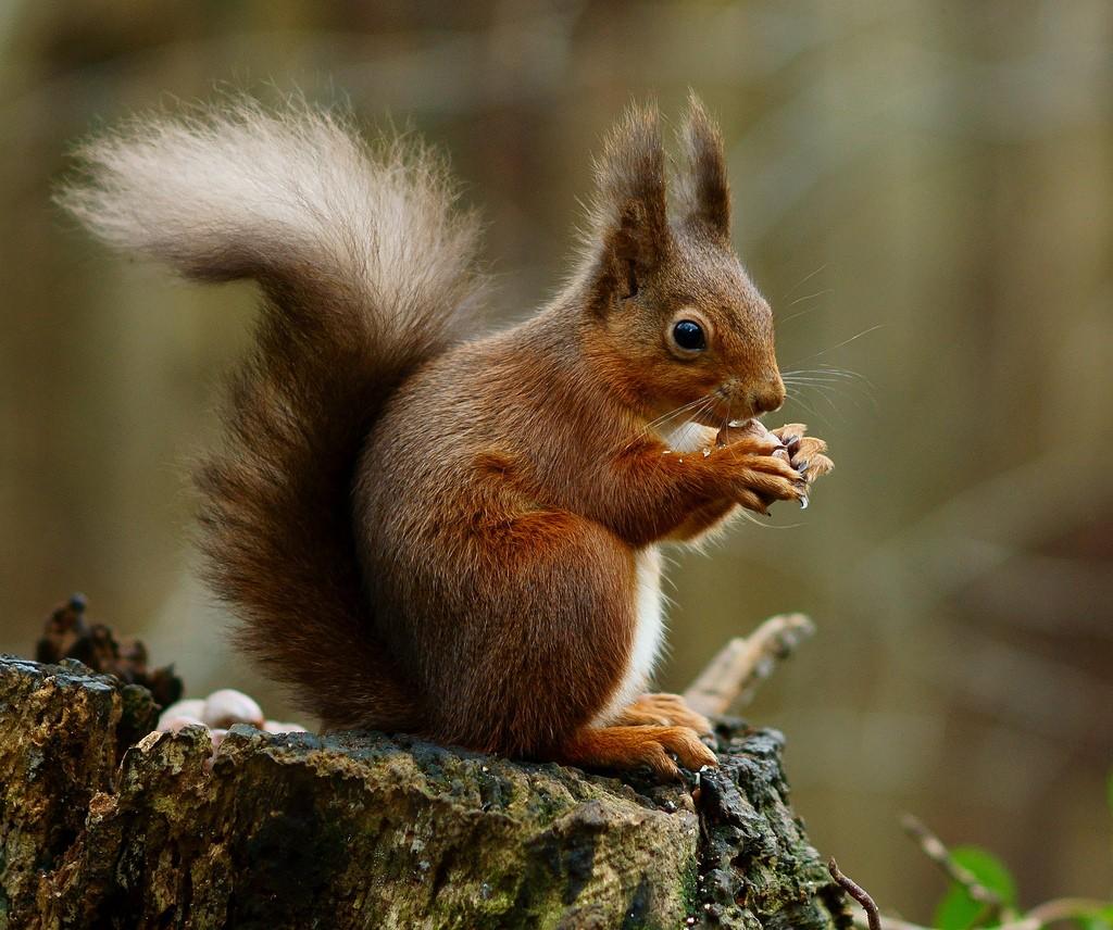 Squirrel removal in Nashua