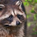 Raccoon Removal in Oak Forest IL
