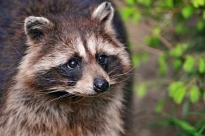 Raccoon Removal in Eufaula AL