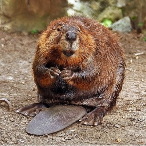 Beaver Removal in Troy IL