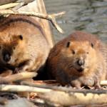 Beaver Removal in Salem NH