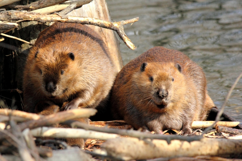 Beaver trapping in Nashua
