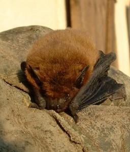 Truckee CA bat control