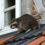 Raccoon Removal in Monee IL