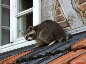 Raccoon Removal in Country Club Hills IL