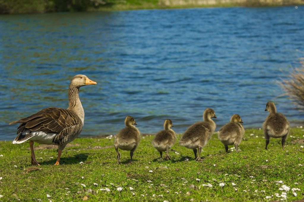 geese (5)