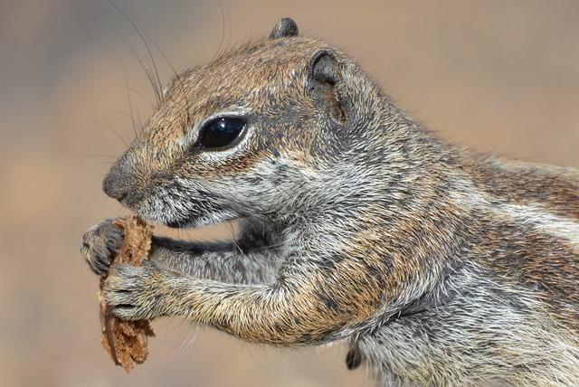 squirrel-895296_640